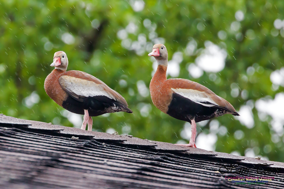 Black-bellied Whistling Duck 1