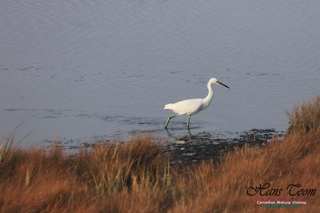 Snowy Egret 1003