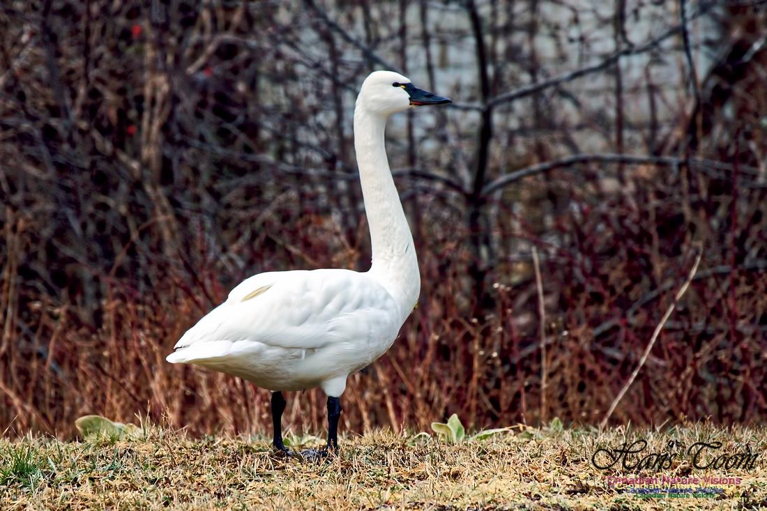 Tundra Swan 17