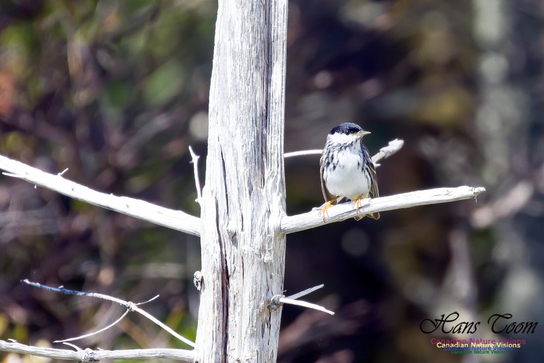 Blackpoll Warbler 11
