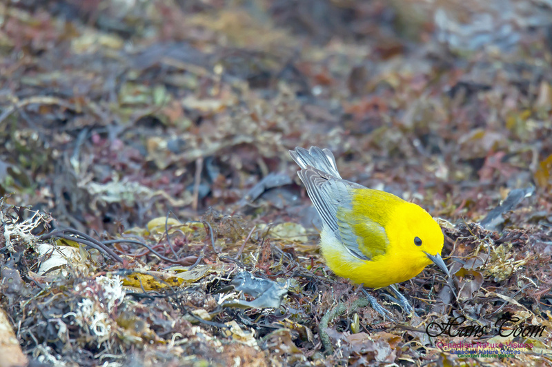 Prothonotary Warbler 16