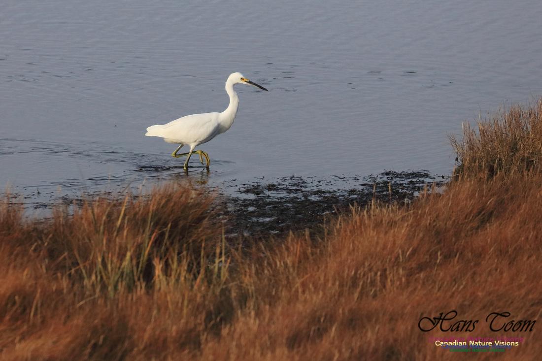 Snowy Egret 1004