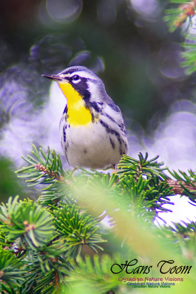 Yellow-throated Warbler 3