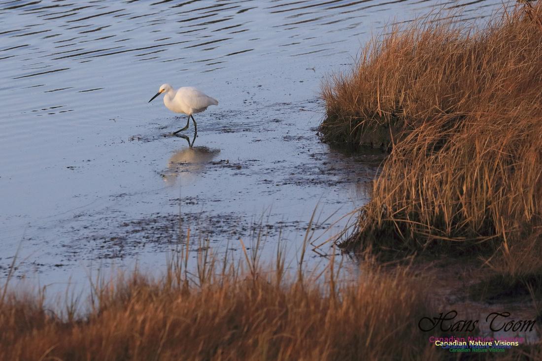 Snowy Egret 1002
