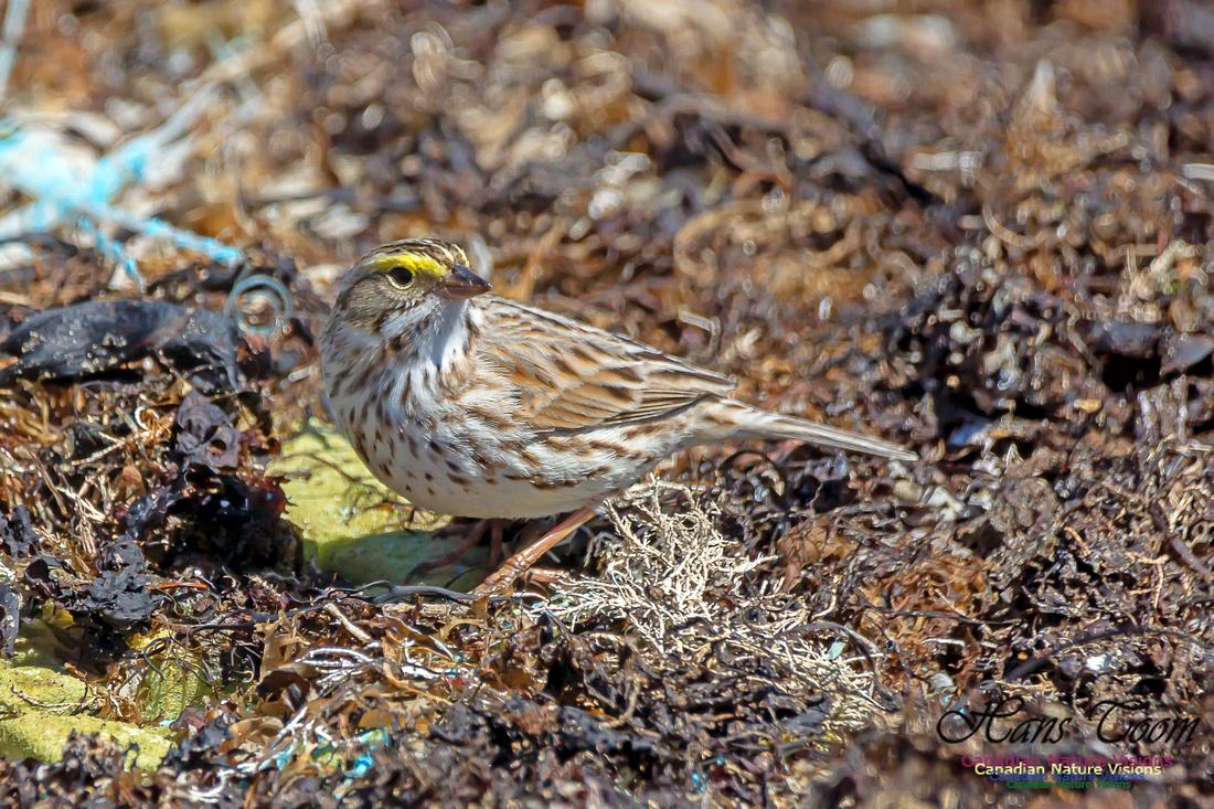 Ipswich Sparrow 19
