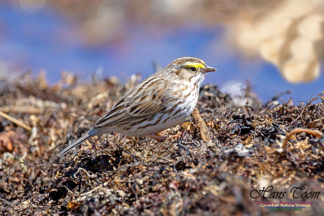 Ipswich Sparrow 21