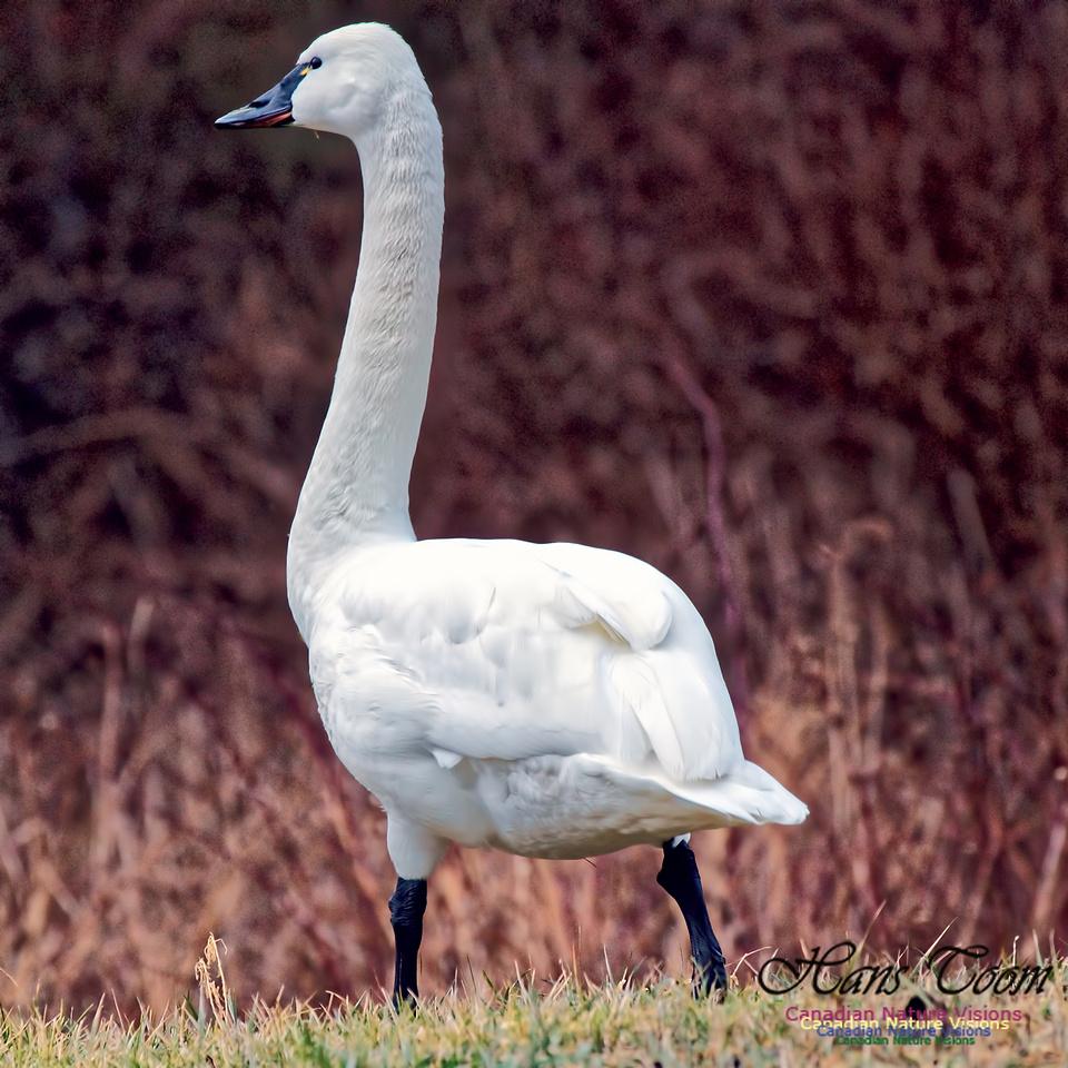 Tundra Swan 11
