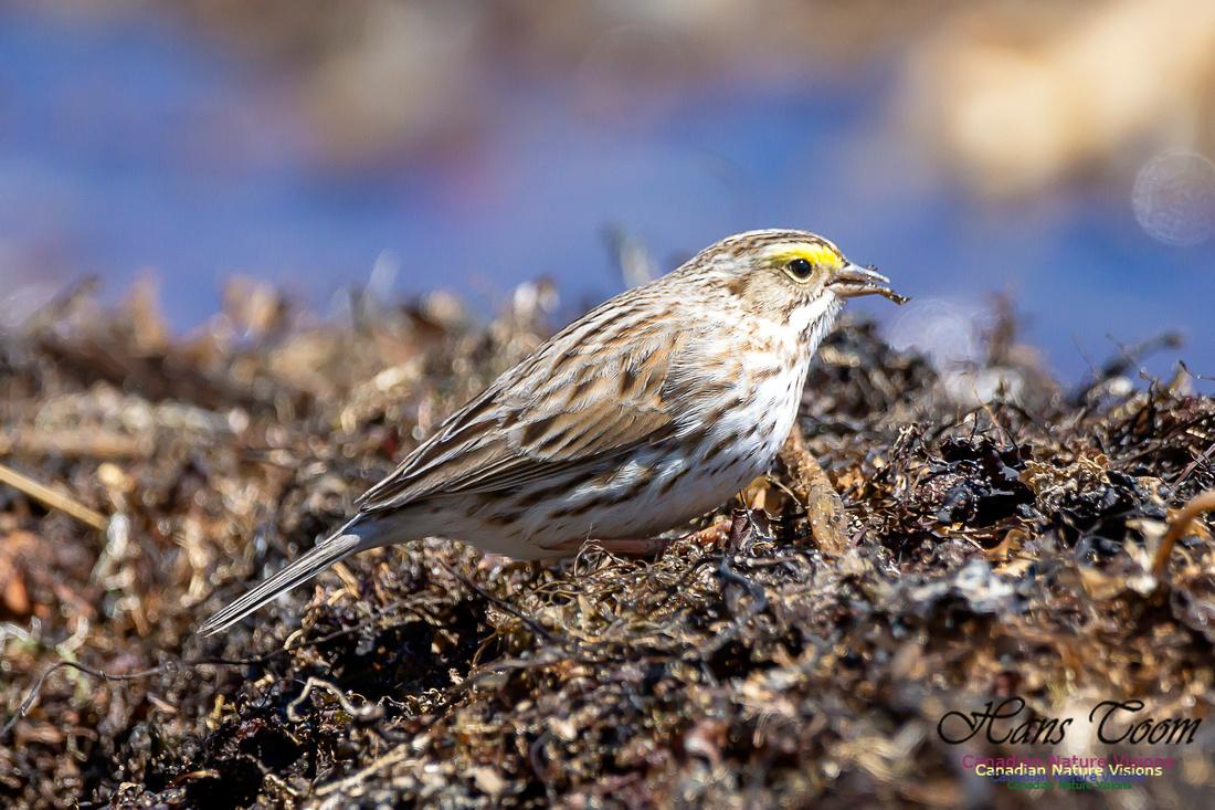 Ipswich Sparrow 22
