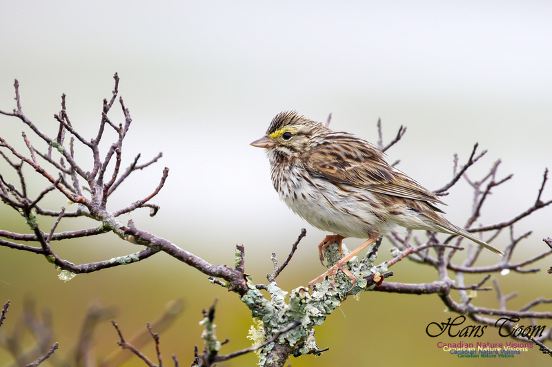 Savannah Sparrow 3