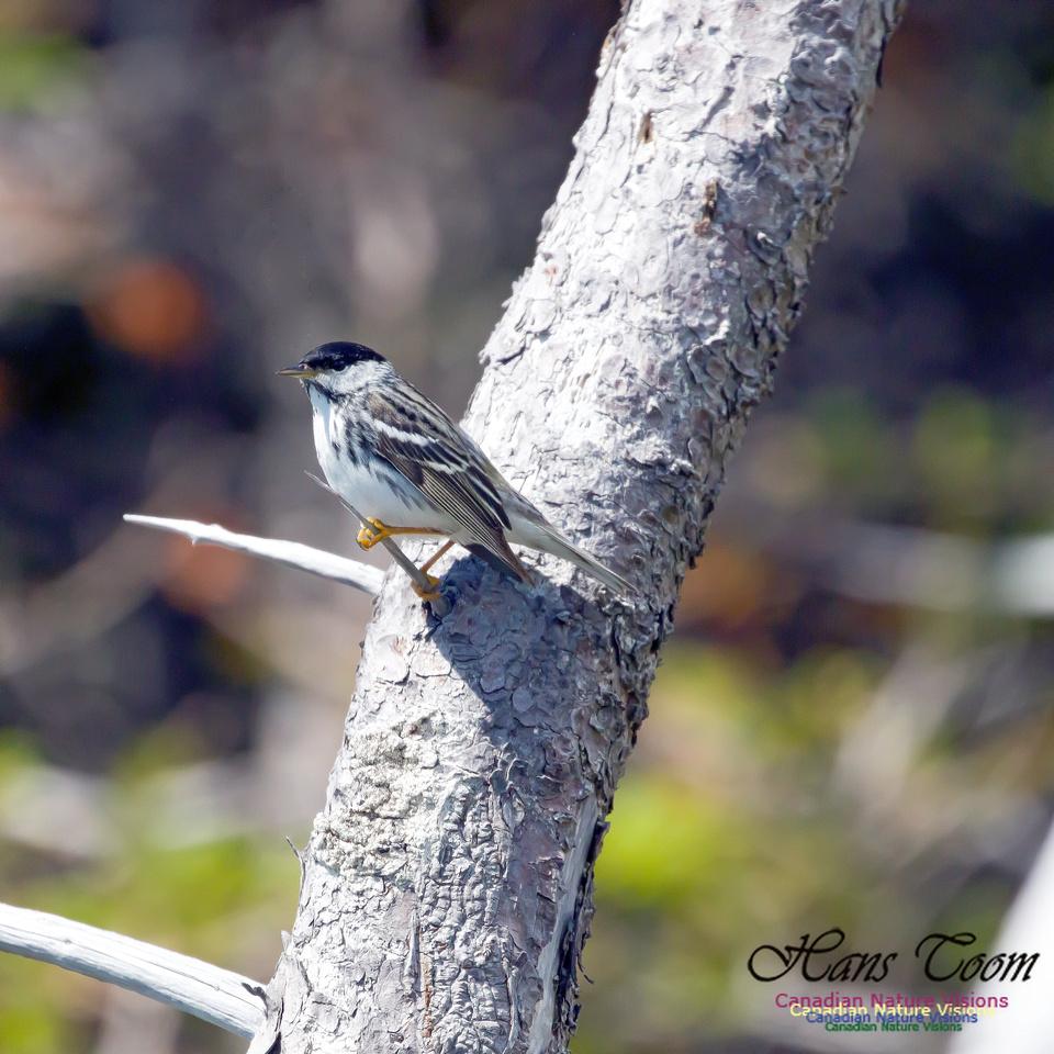 Blackpoll Warbler 6