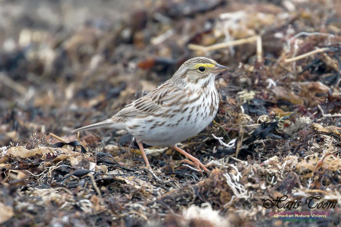 Ipswich Sparrow 5