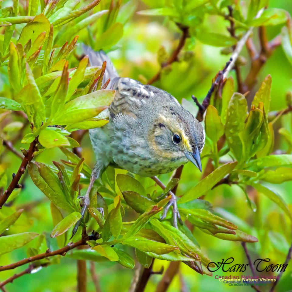 Nelson's Sparrow 3