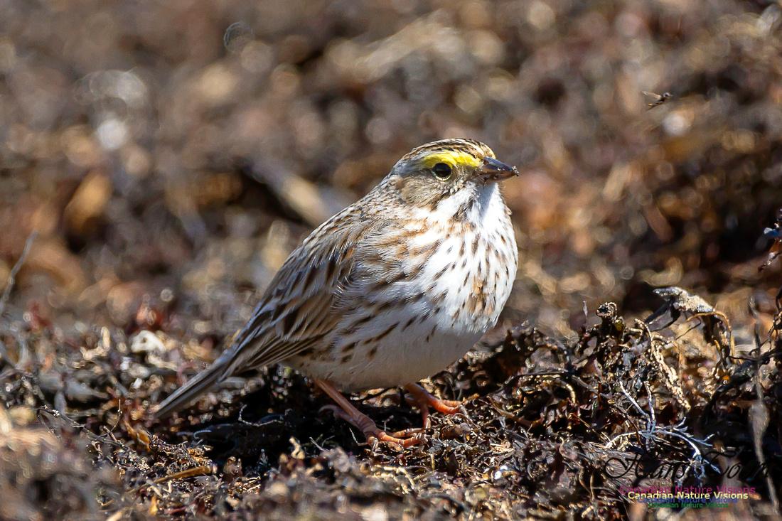 Ipswich Sparrow 13
