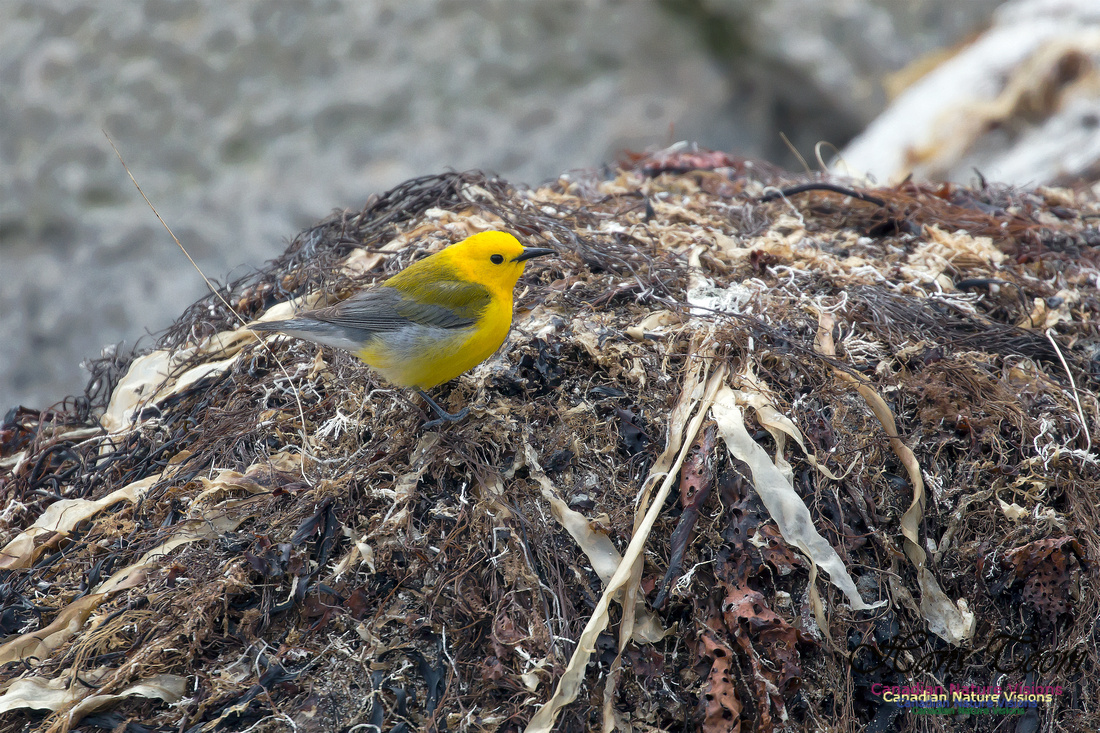 Prothonotary Warbler 35