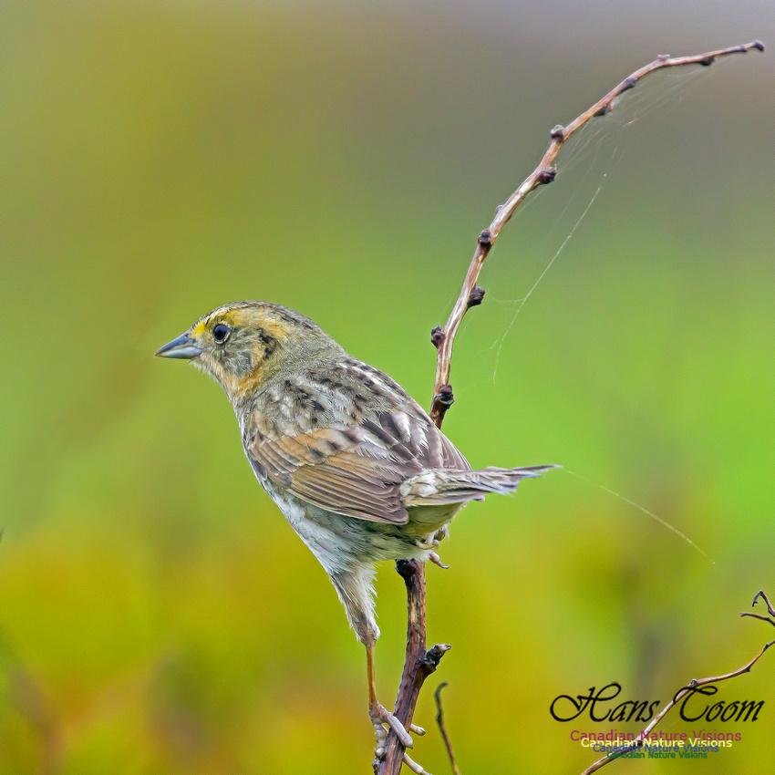 Nelson's Sparrow 6