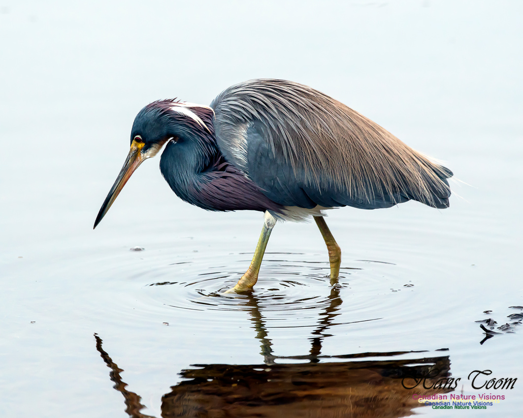 Tricoloured Heron 58