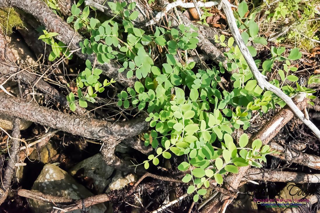 Beach Pea-Lathyrus maritimus