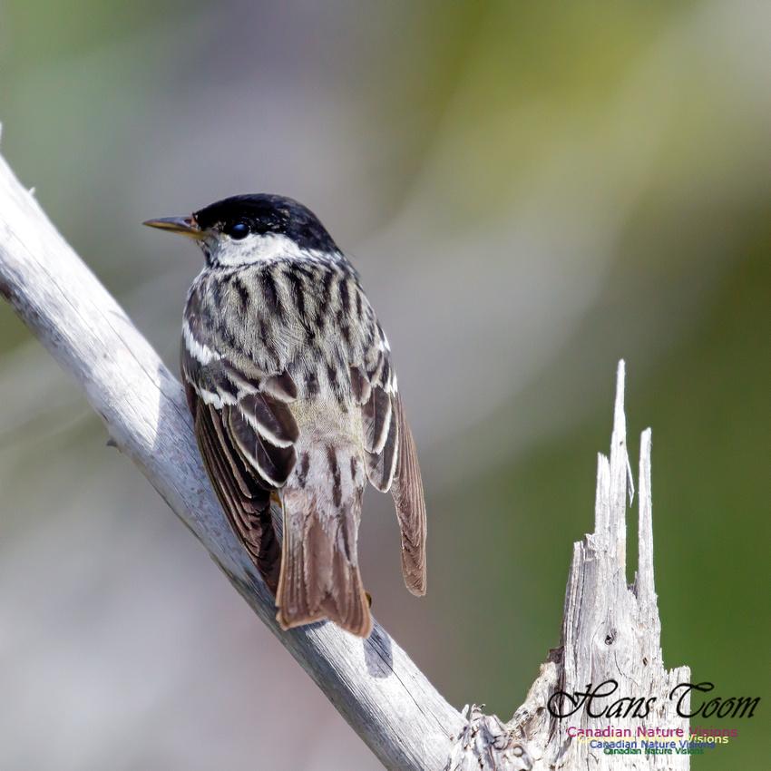 Blackpoll Warbler 3