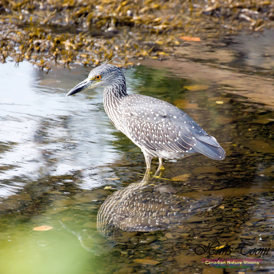 Yellow-crowned Night Heron 12