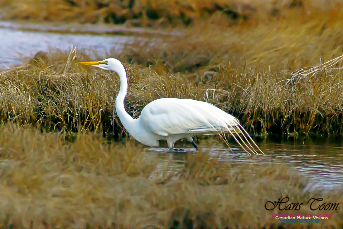 Great Egret 2