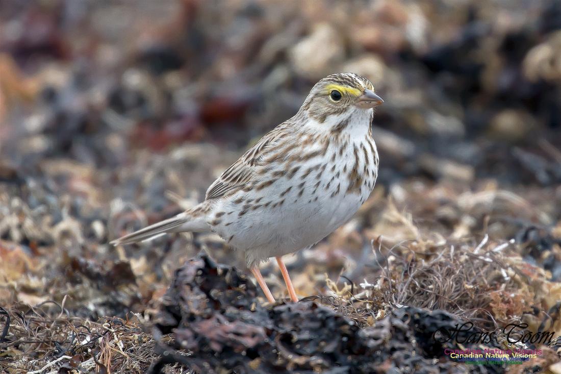 Ipswich Sparrow 1