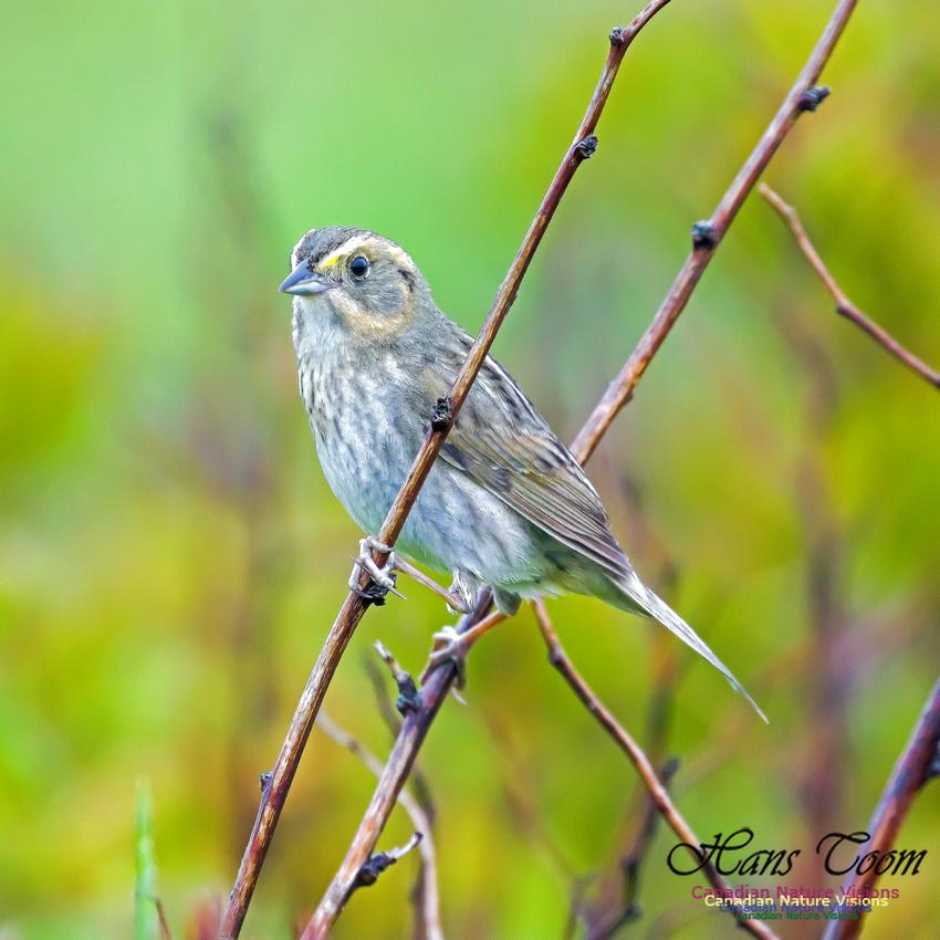 Nelson's Sparrow 7