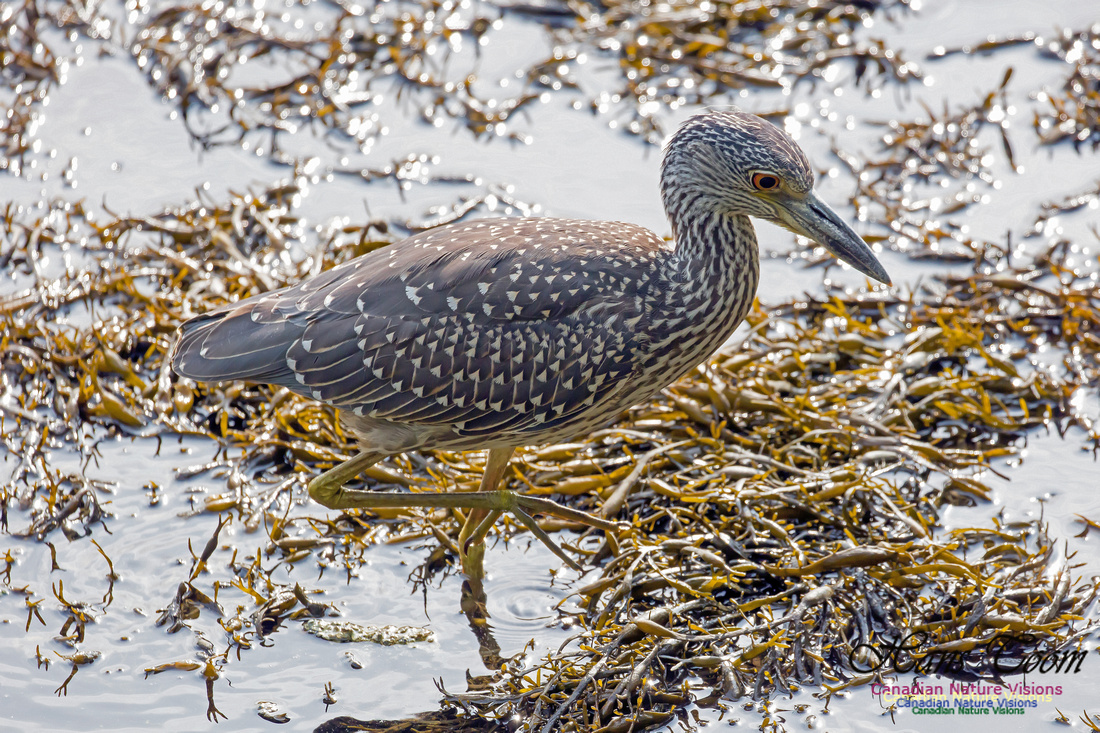 Yellow-crowned Night Heron 11