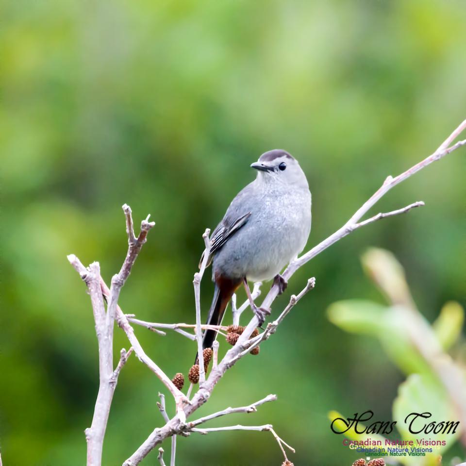 Grey Catbird 3