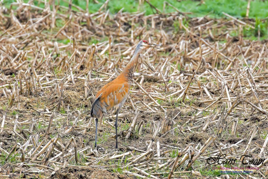 Sandhill Crane 1