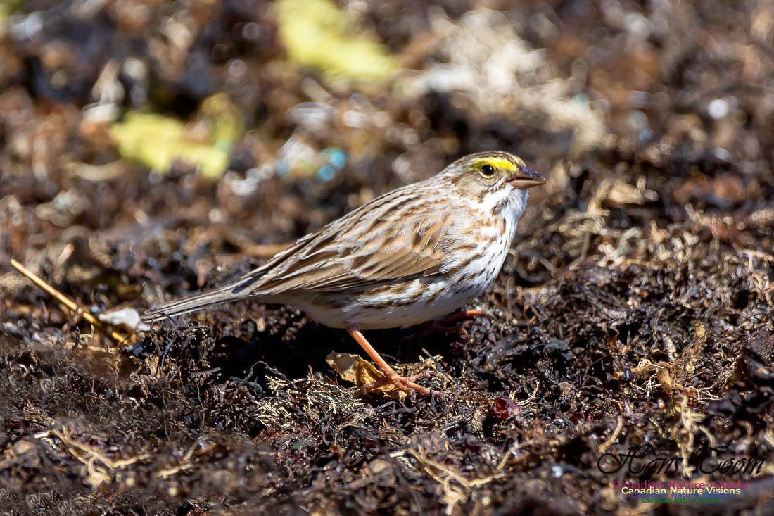 Ipswich Sparrow 18