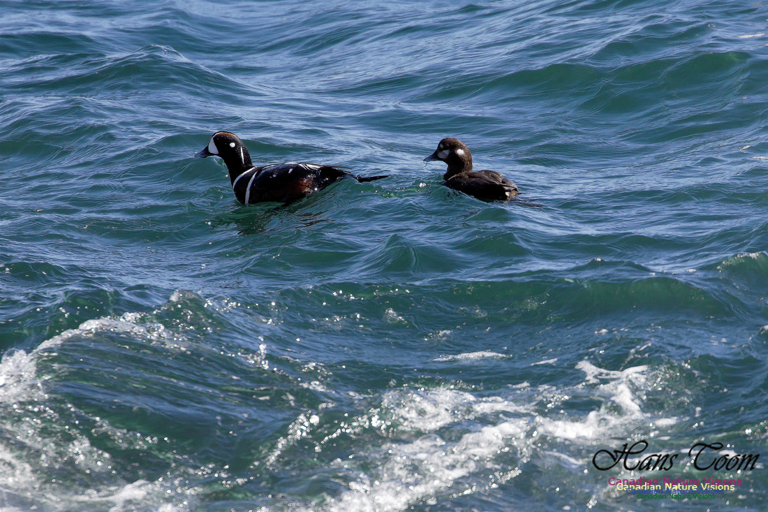 Harlequin Duck 2