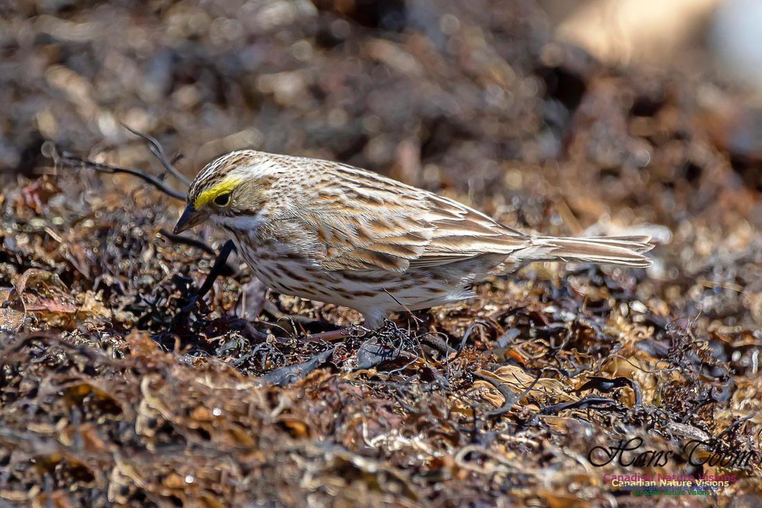 Ipswich Sparrow 7