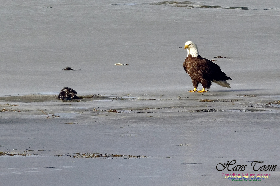 Bald Eagle Eyeing River Otter With Eel 1