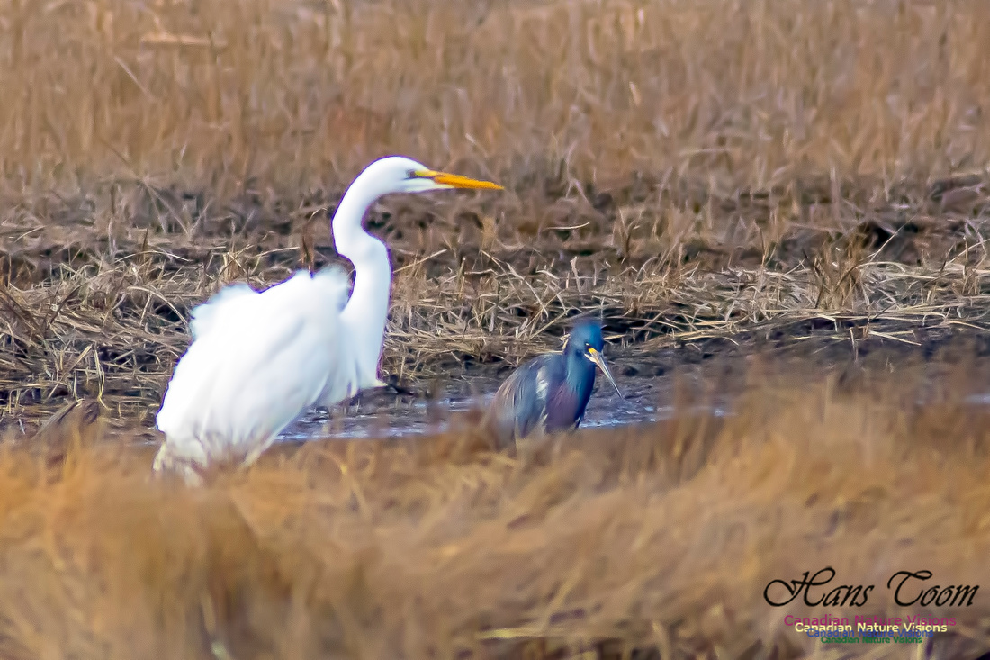 Tricoloured Heron and Great Egret 3