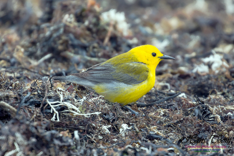 Prothonotary  Warbler 27