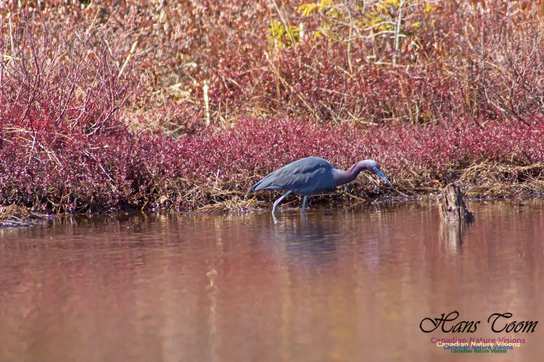 Little Blue Heron 5