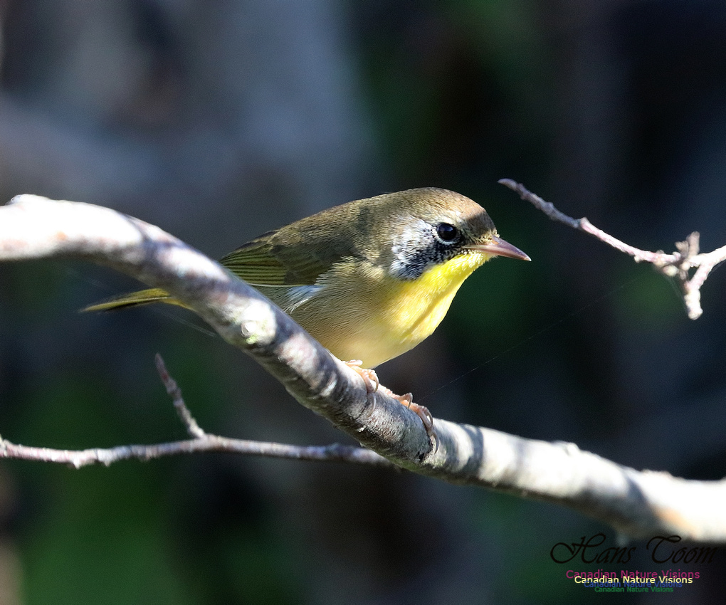 Common Yellowthroat 8
