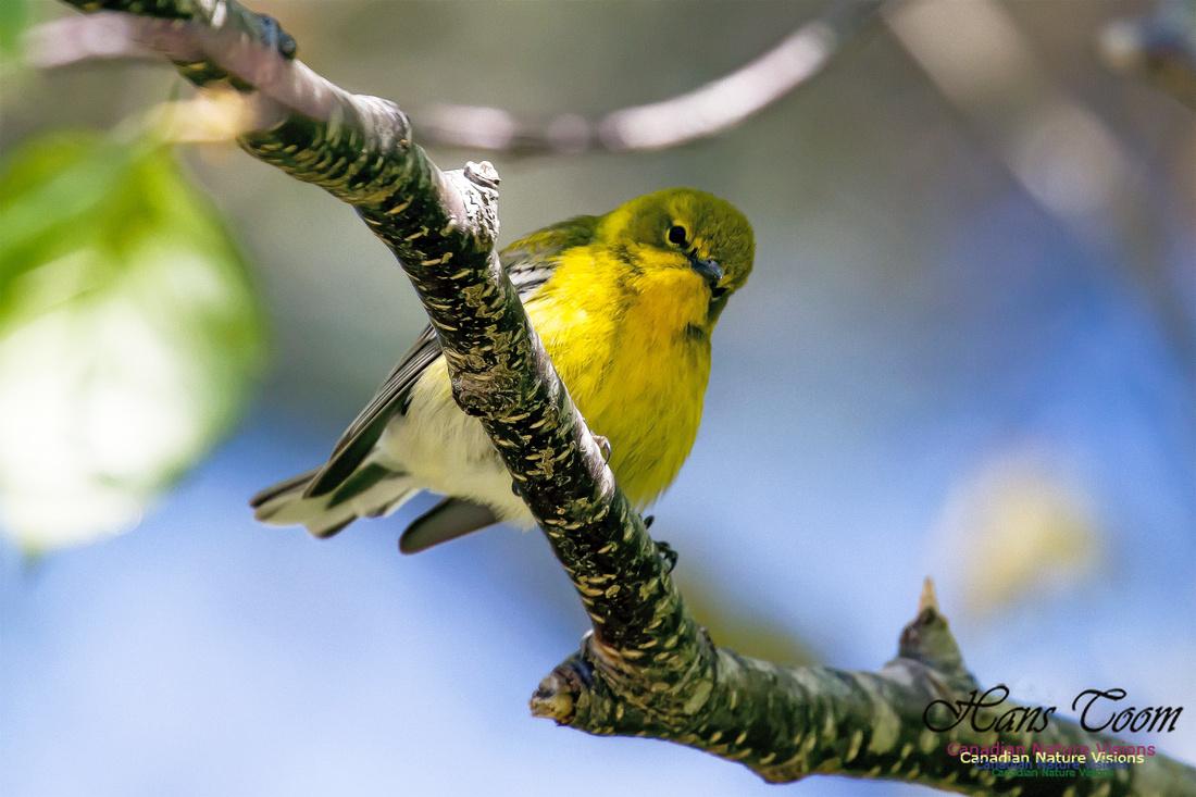 Pine Warbler 4