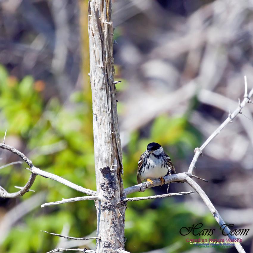 Blackpoll Warbler 7
