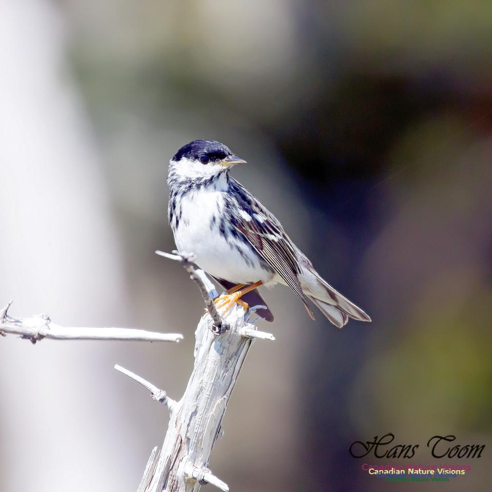 Blackpoll Warbler 9