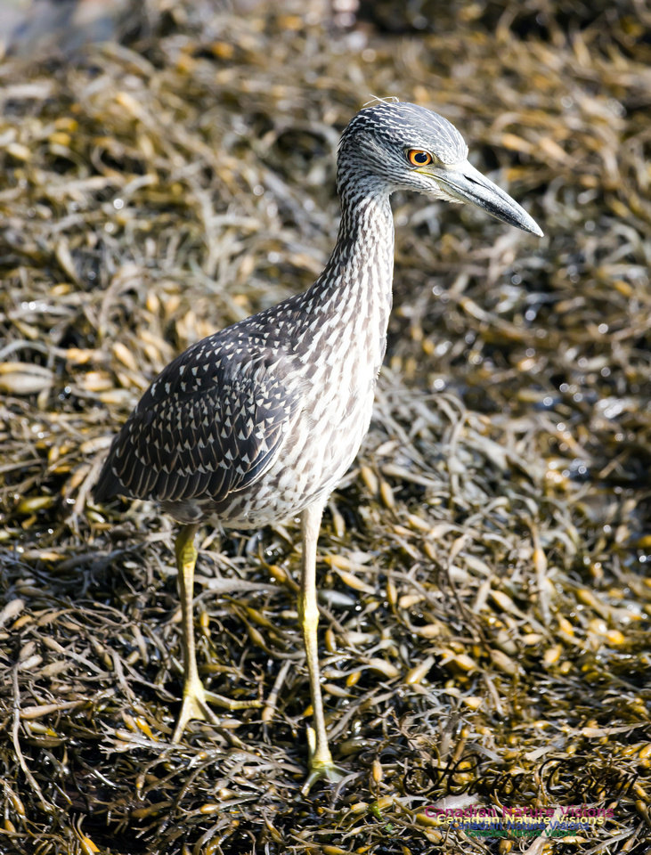 Yellow-crowned Night Heron 8