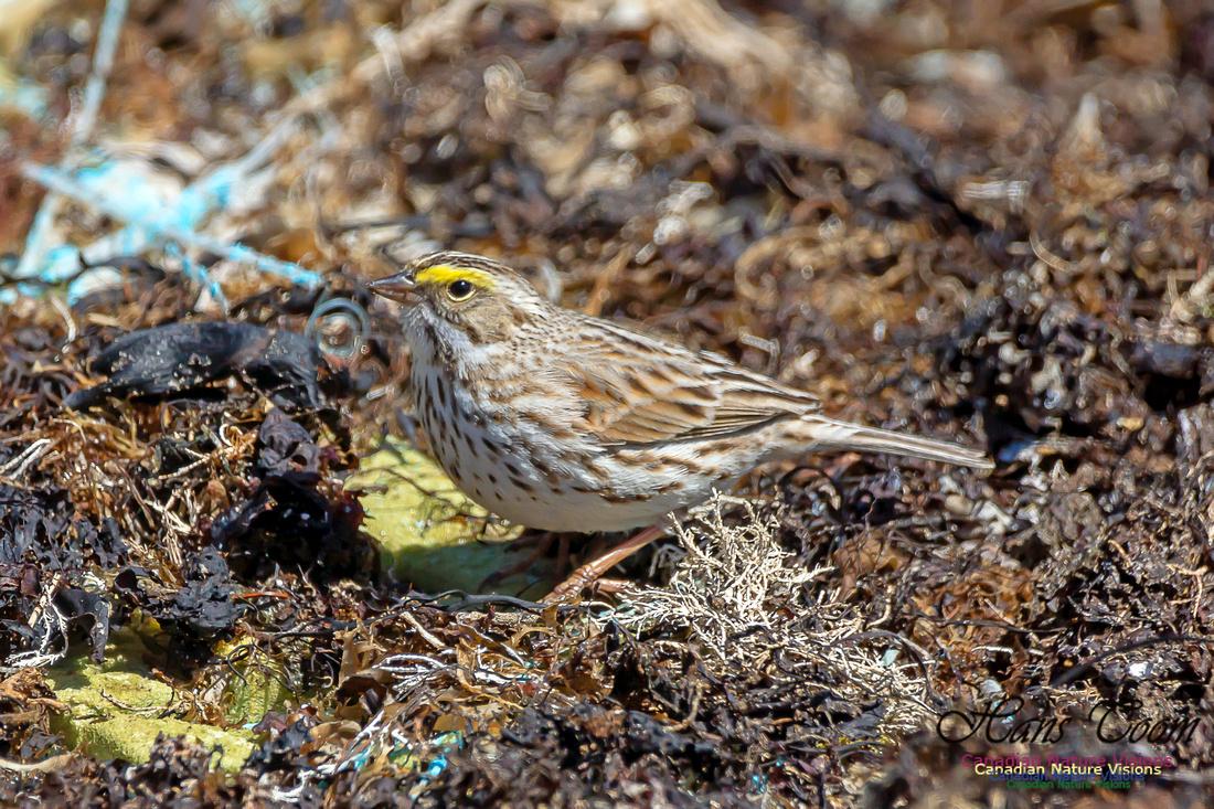 Ipswich Sparrow 20