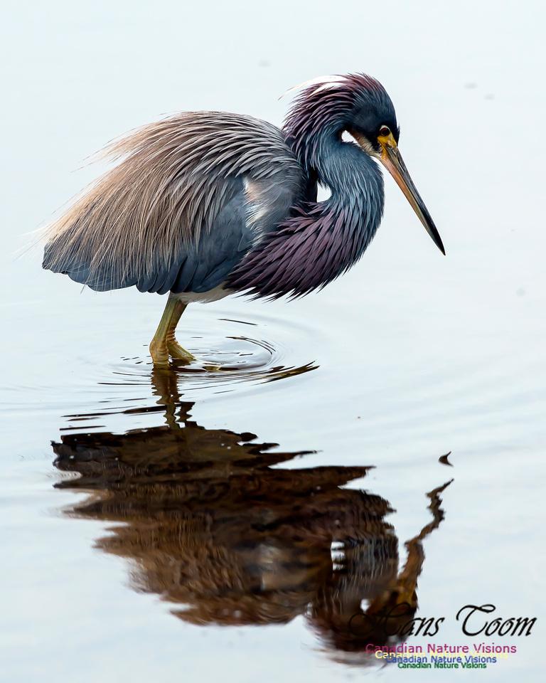 Tricoloured Heron 63